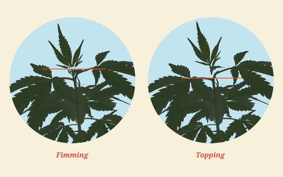 How to Top Cannabis Plants for Better Yields